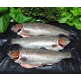 Rainbow Trout - IBC System